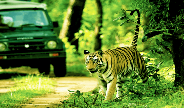 Bengal Tiger seen during Jeep Safari tour in Nepal